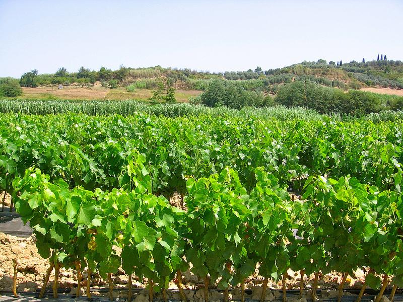 Xylella mipaaf da ue via libera a commercio viti del for Barbatelle di vite